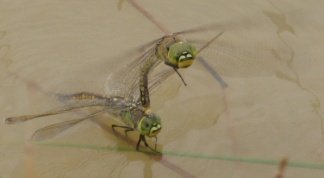 1-1-17-mating-dragonflies-3-copy