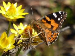 australian-painted-lady-vanessa-kershawi-on-sticky-everlasting-xerochrysum-viscosum