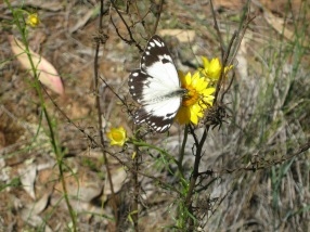 female-caper-white-belenois-java-on-sticky-everlasting-xerochrysum-viscosum