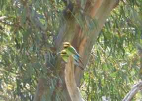 r-bee-eaters-by-janice-ward-copy