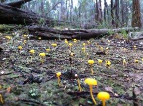 yellow-fungi