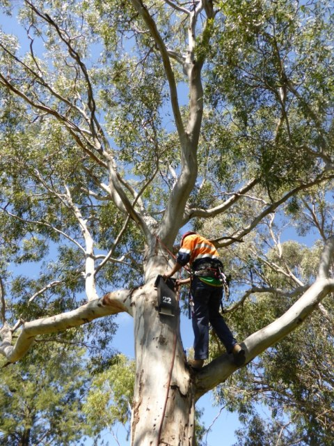installation-of-microbat-box-no-22-in-a-large-red-gum